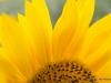 sunflower-ex